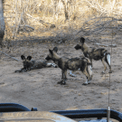 Mad Dogs and Englishmen… or Wild Dogs and Americans