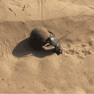 Watch the Dung Beetle