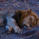 'In the jungle, the mighty jungle, the lion sleeps tonight'